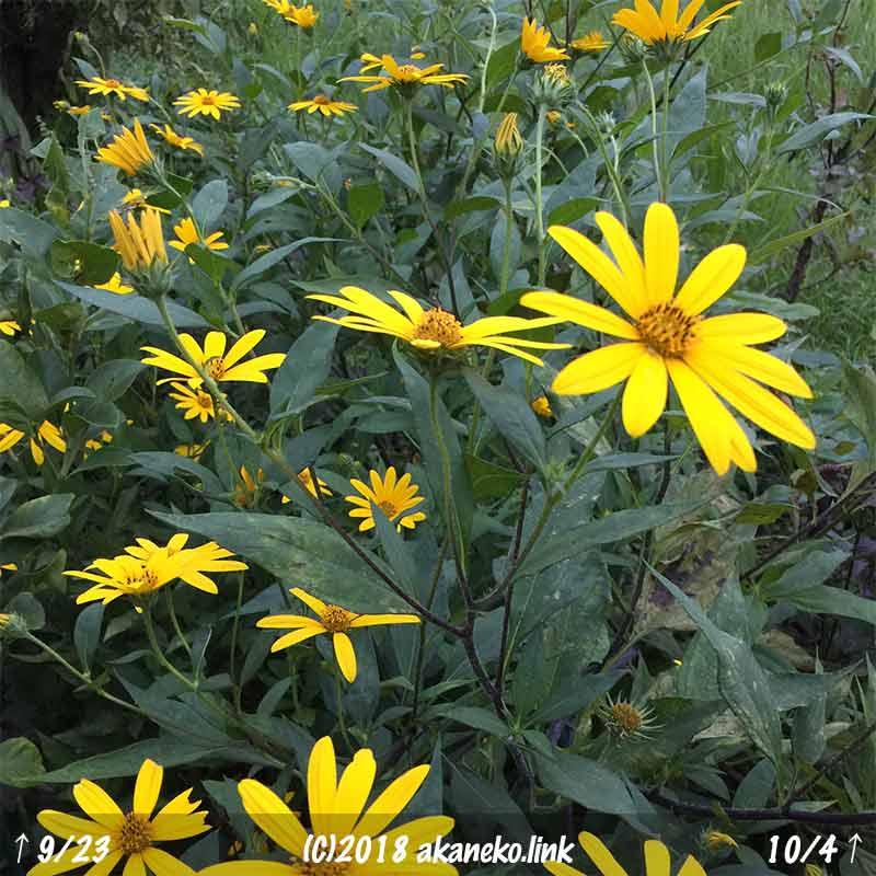 満開の菊芋(キクイモ)の黄色い花