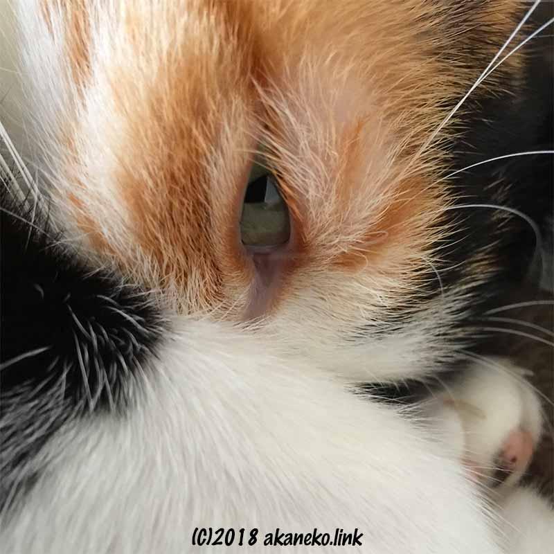 三毛猫の目のアップ