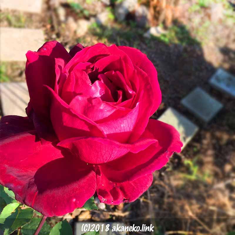 ミスターリンカーン(mister_lincoln)、赤いバラの花