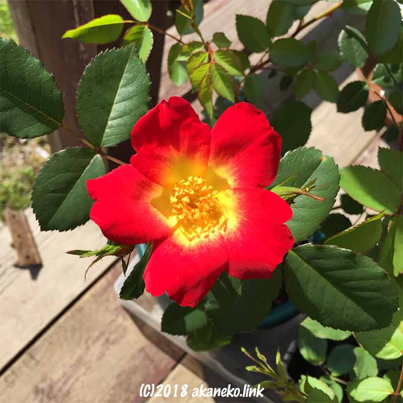 新苗のカクテルの花、rose,coktail