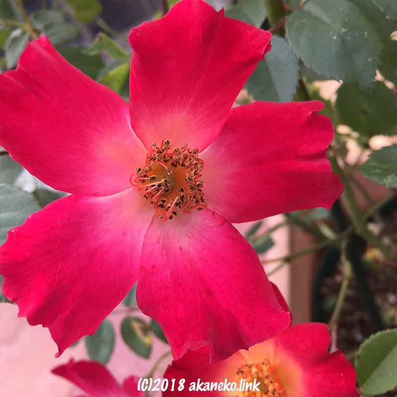 バラ、カクテルの花、rose,coctail