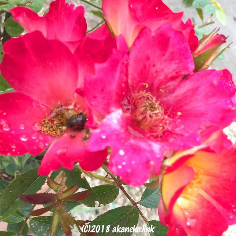 バラを食べるコガネムシ
