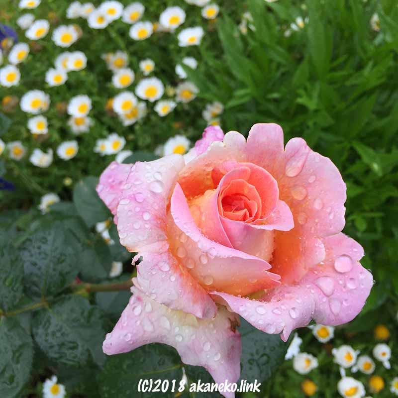 雨の日の花壇で咲くピンクのバラ(Rose Elle)