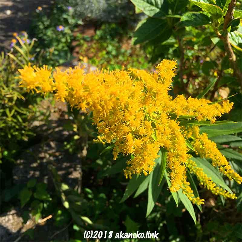 背高泡立草(セイタカアワダチソウ)の黄色い花穂