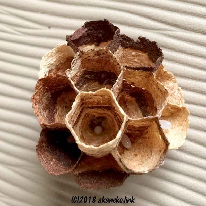 巣に産み付けられたスズメバチの卵
