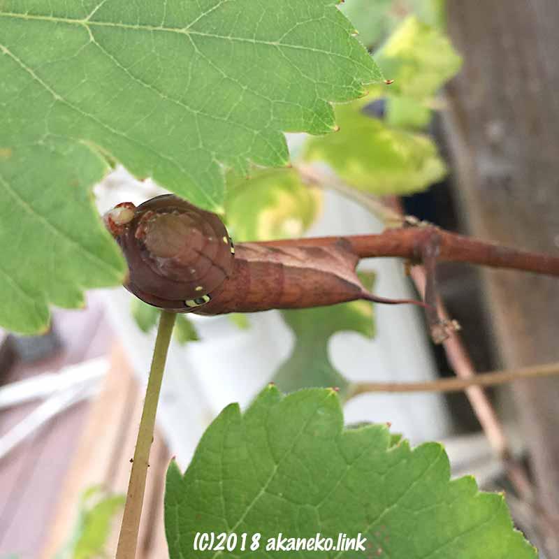 ブドウを食べているコスズメの幼虫。