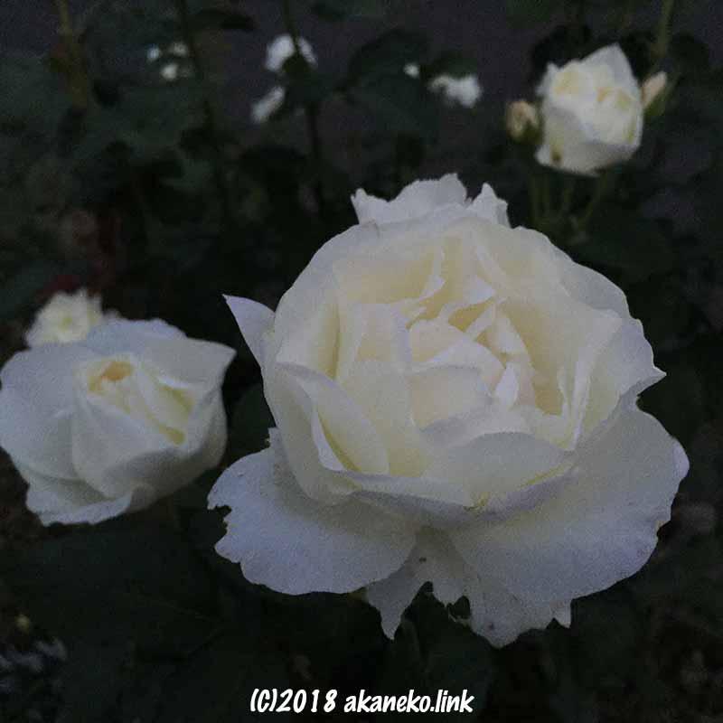 夕暮れの白薔薇(white rose)