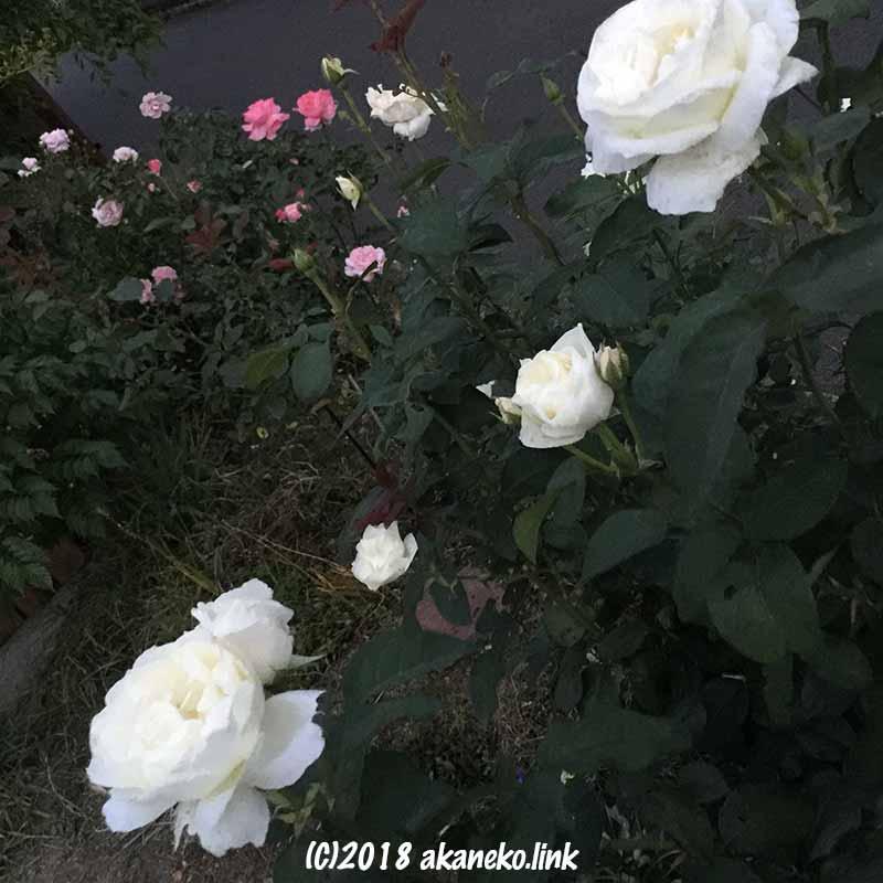 夕暮れの花壇のバラ