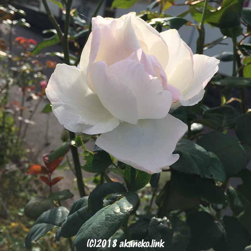 朝陽の中の白いバラ(White rose)
