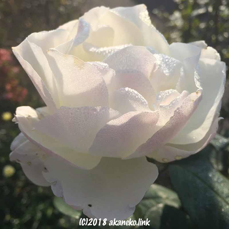 露に濡れた白薔薇(white rose)