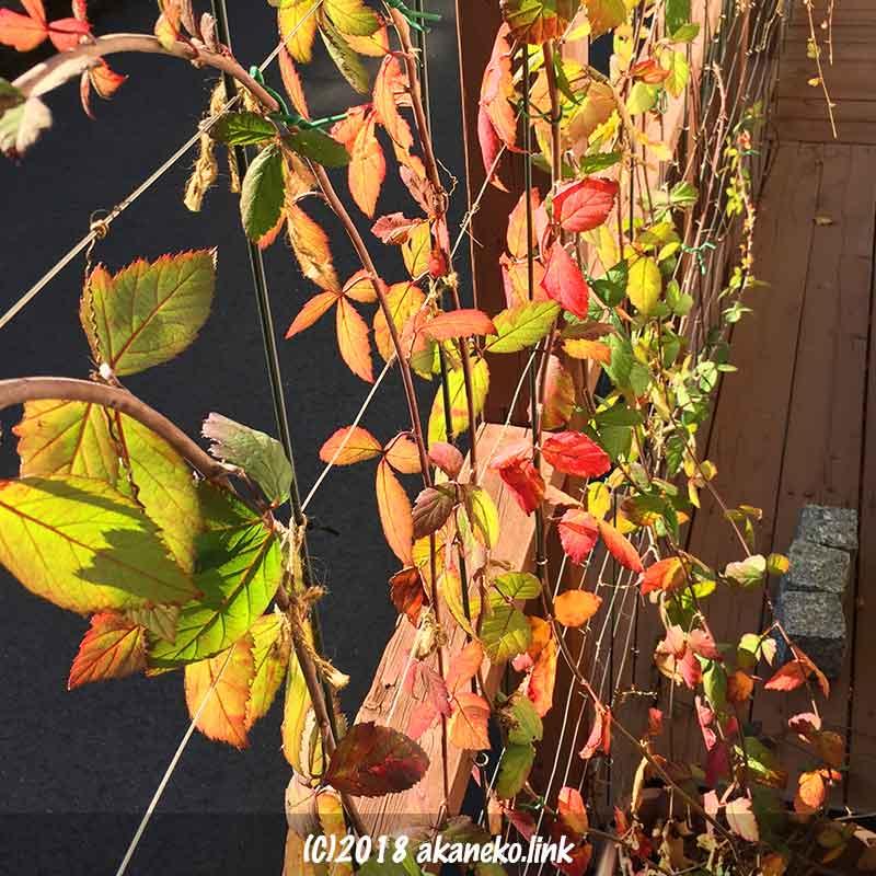 紅葉したブラックベリーの葉