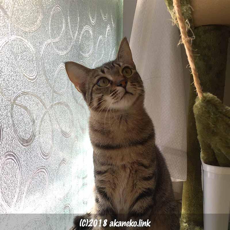 窓ガラスのそばのキジ猫