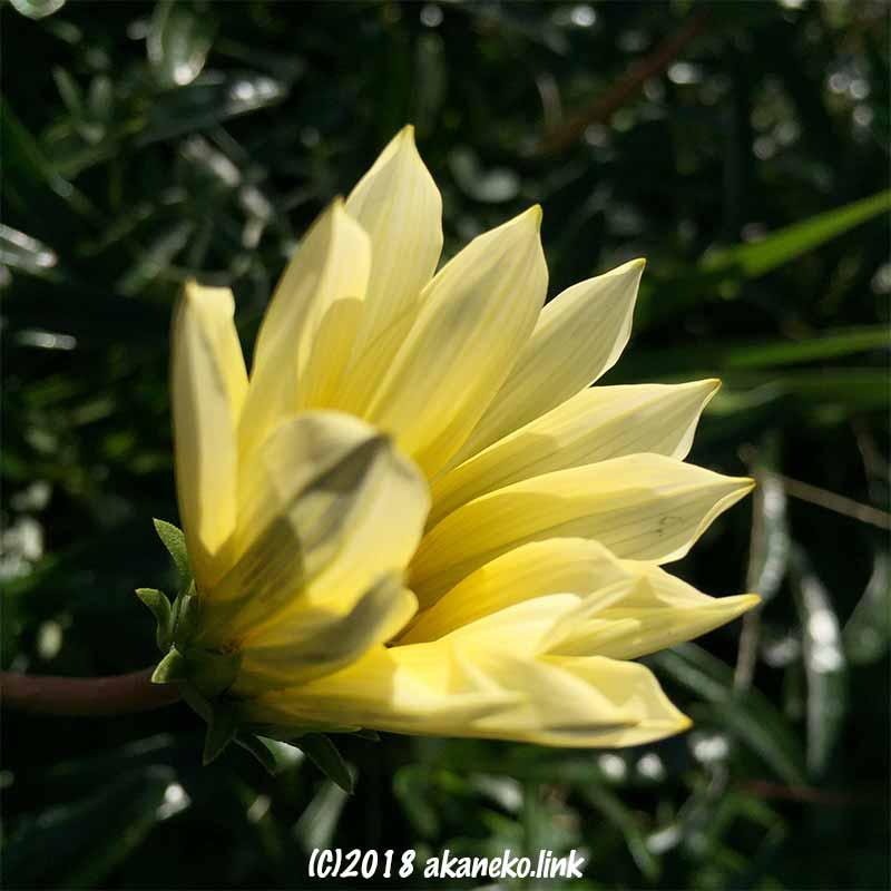 12月、ガザニアの黄色い花