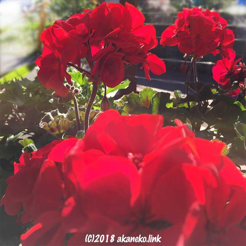 12月、ゼラニウムの真っ赤な花