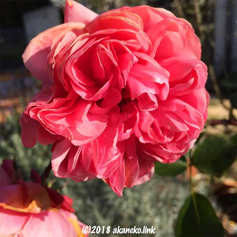 12月のホーム&ガーデン(バラ)のピンク色の花