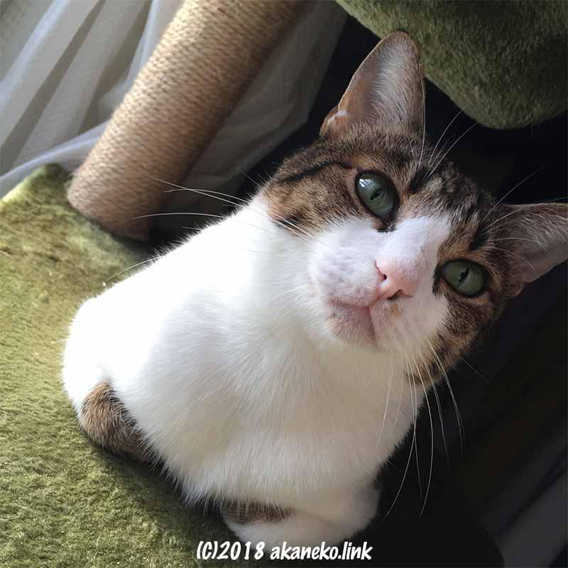 キャットタワーの上で香箱座りをするキジ猫
