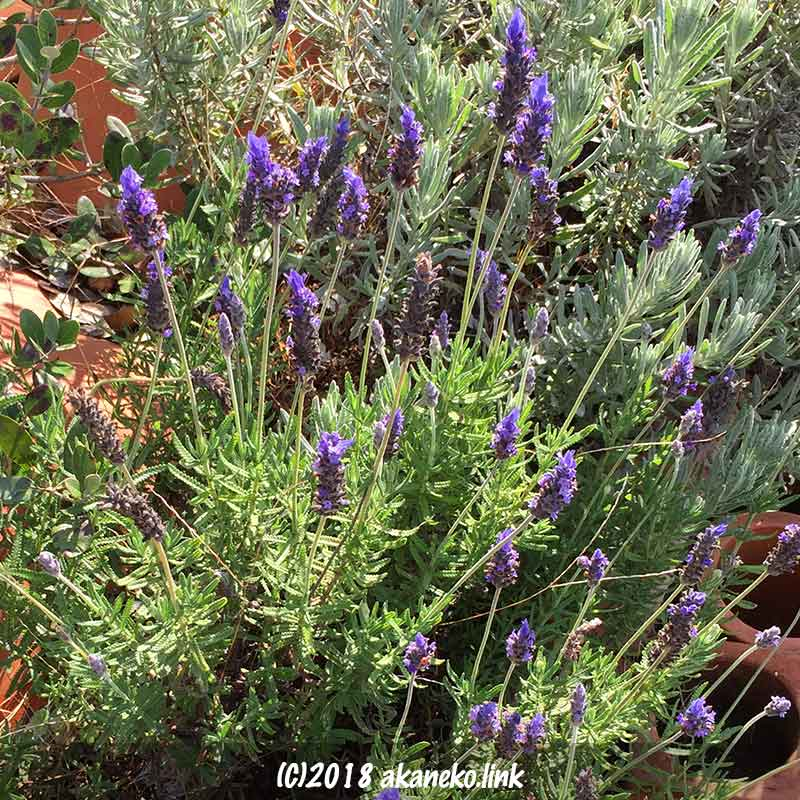 12月ラベンダーの花