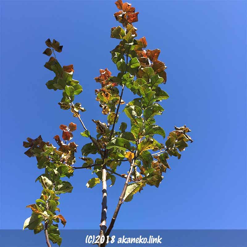 12月のローズパール(りんご)の枝