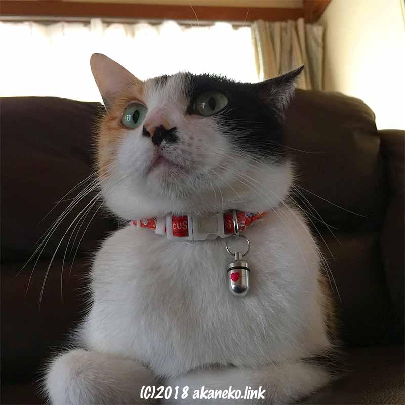 赤い首輪をした三毛猫(mikeneko,cat)