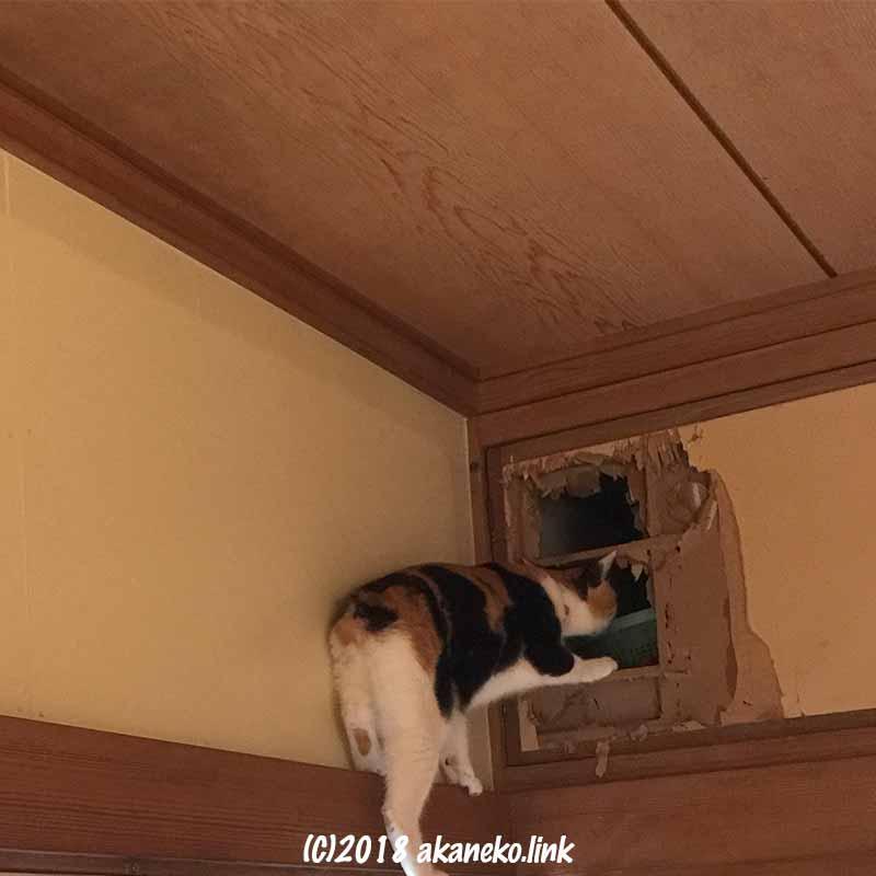 天袋に入る三毛猫