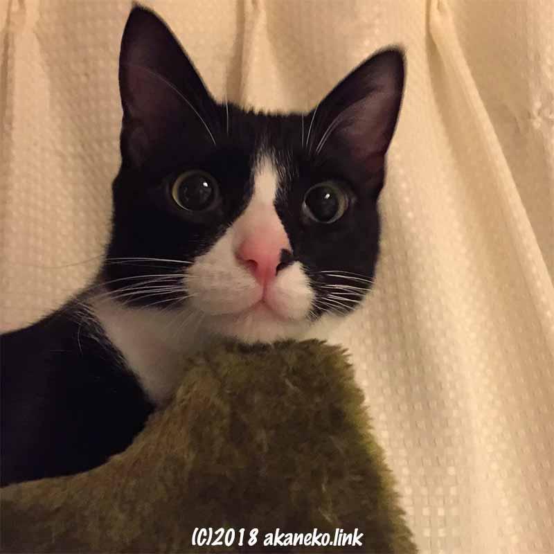 目を見開いたハチワレ猫