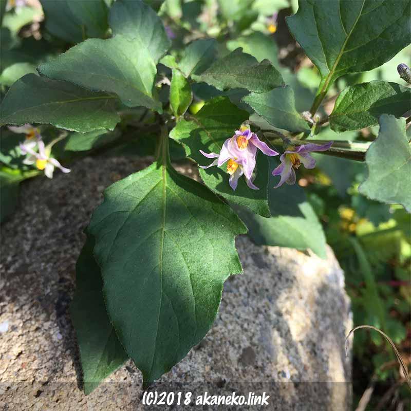 12月のワルナスビの薄紫の花
