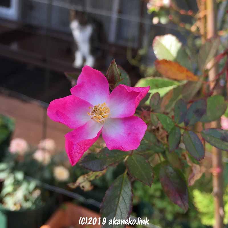 1月のバレリーナ(Ballerina)のピンクの花