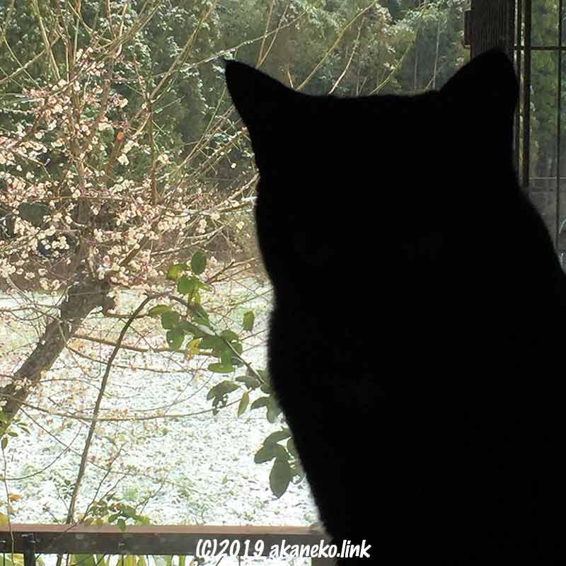 冬の庭を見る猫の黒いシルエット