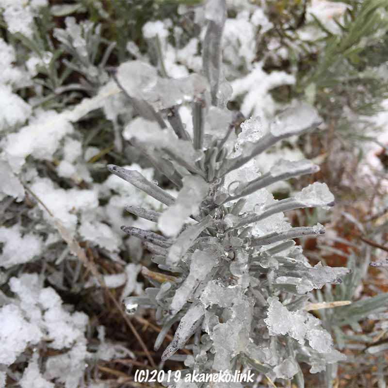 雪が付着したラベンダーの葉