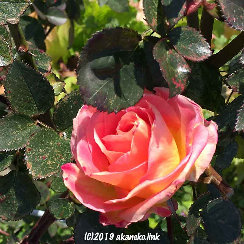 1月に咲いたバラ(エル、Elle)の花