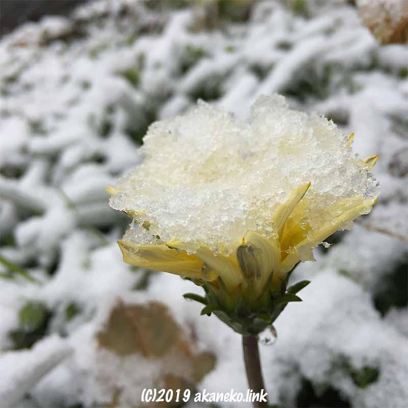 雪を乗せたレモン色のガザニアの花