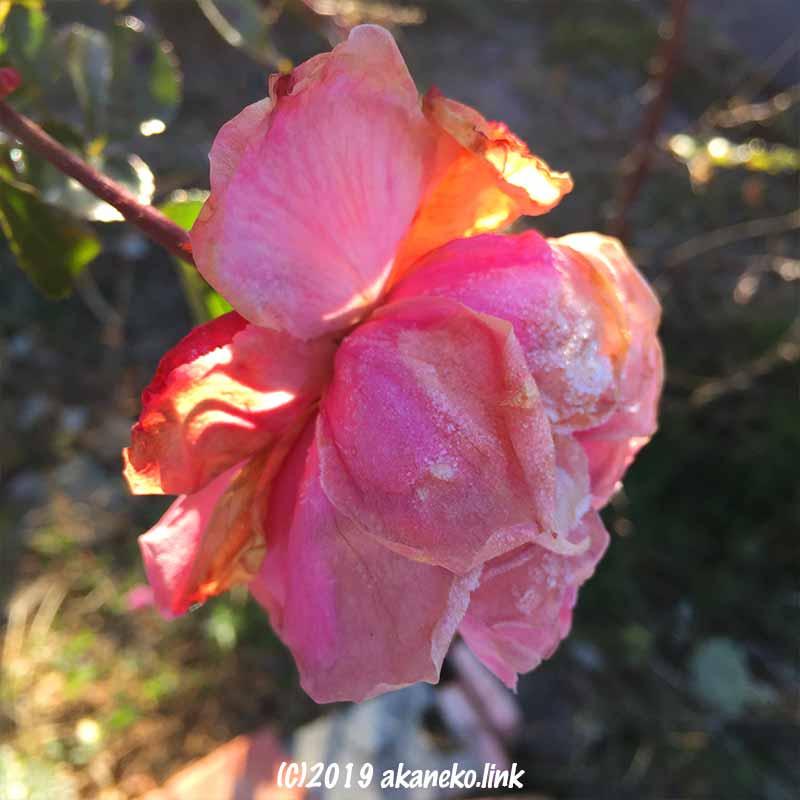 散り際のバラ(ホームガーデン)の花に降りた霜