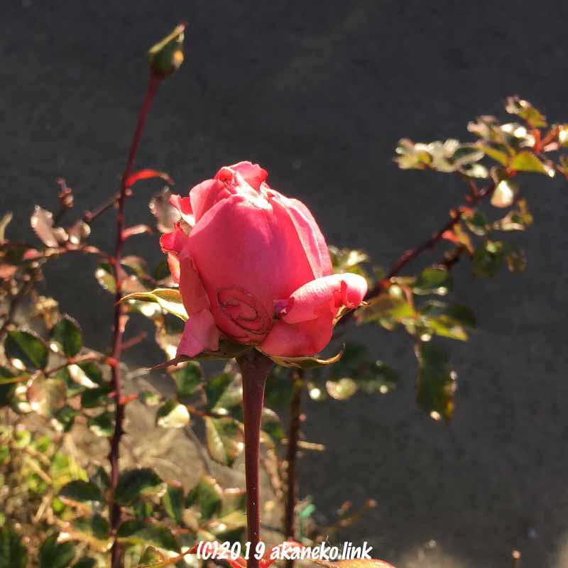 ちょっと虫に食われた冬、1月のホーム&ガーデンのピンクの花