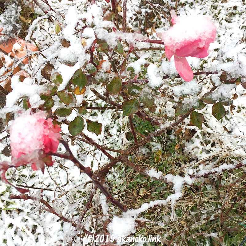 雪の積もったピンク色のバラ