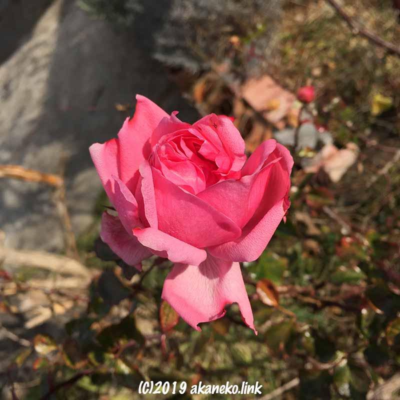 ホーム&ガーデン(ピンク色のバラ)の花