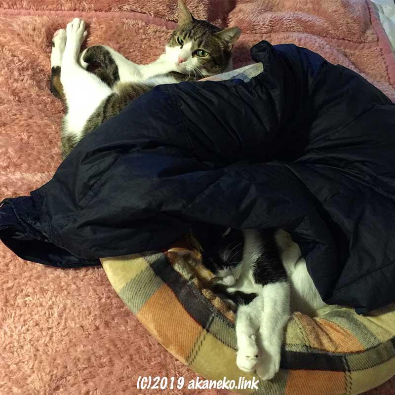 キジ猫と猫ベッドで眠る三毛猫