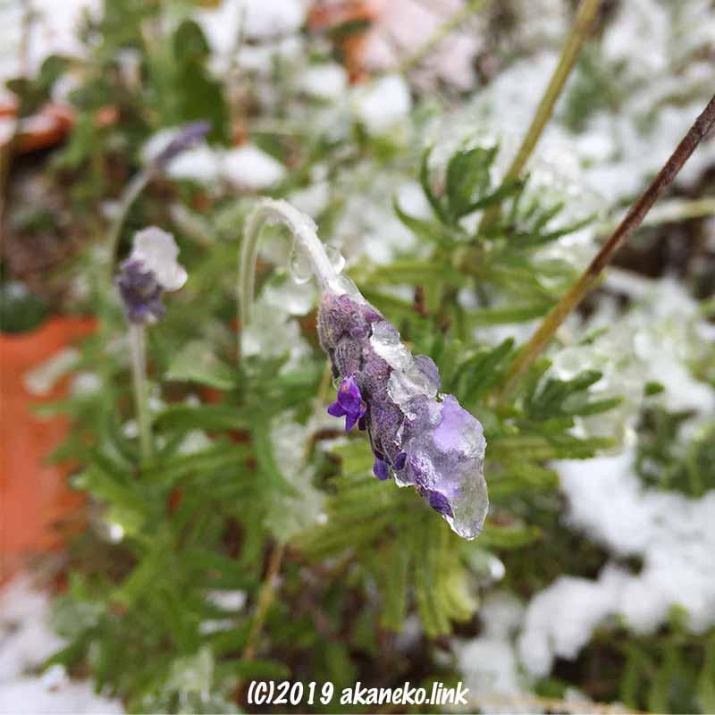 着雪してうなだれるラベンダーの花(スーパーサファイアブルー)