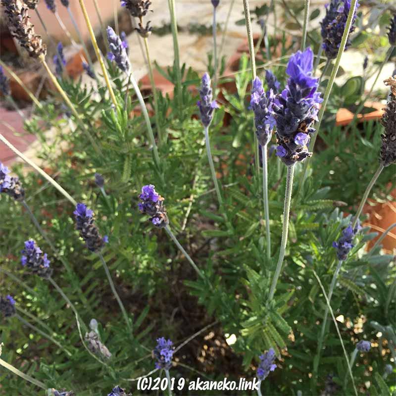 ラベンダー(スーパーサファイアブルー)の花