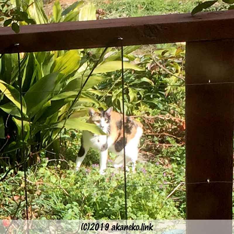 ウッドデッキ越しの三毛猫とハラン