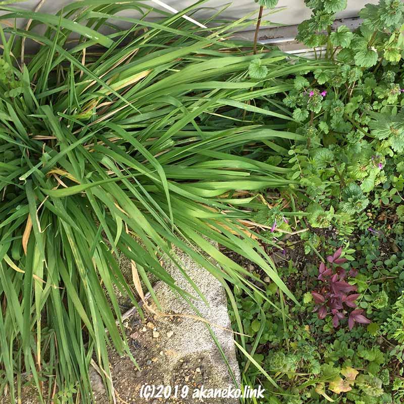 小さい南天とホトケノザとイネ科の雑草