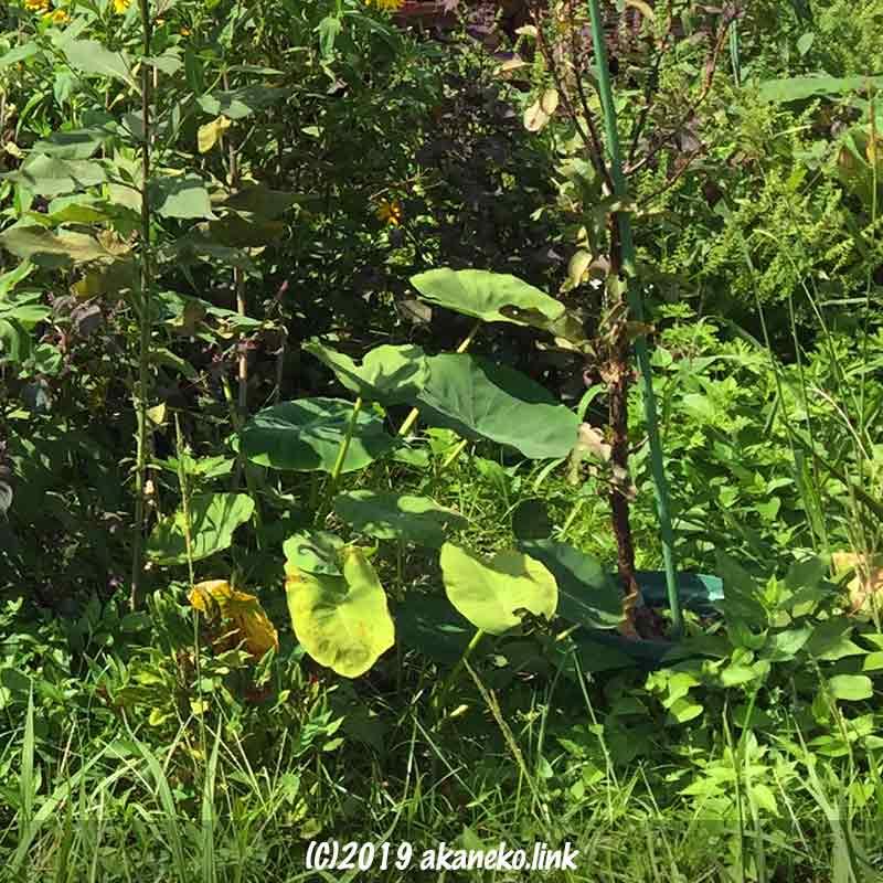 里芋自然栽培9月
