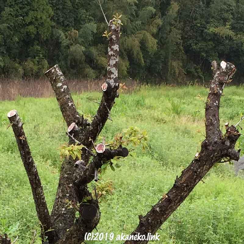 強く剪定しすぎた梅の木