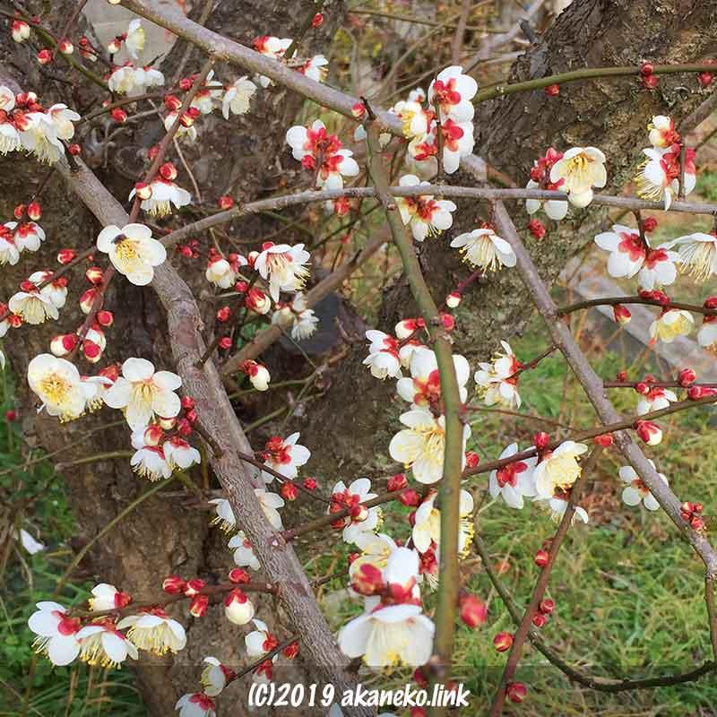 5分咲きの白梅の枝