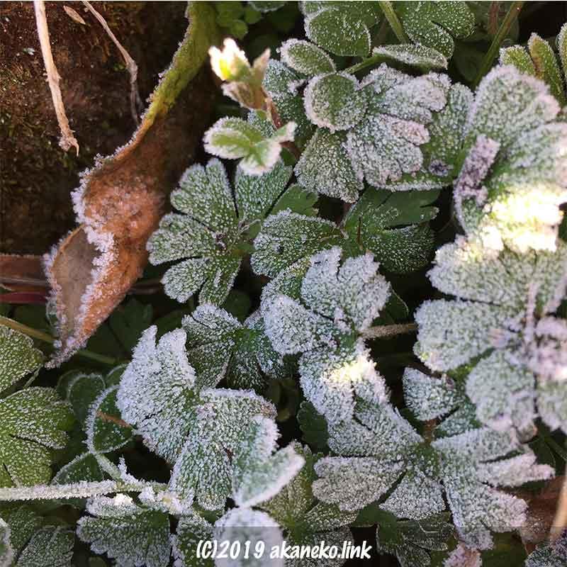 雑草と落ち葉に降りた霜