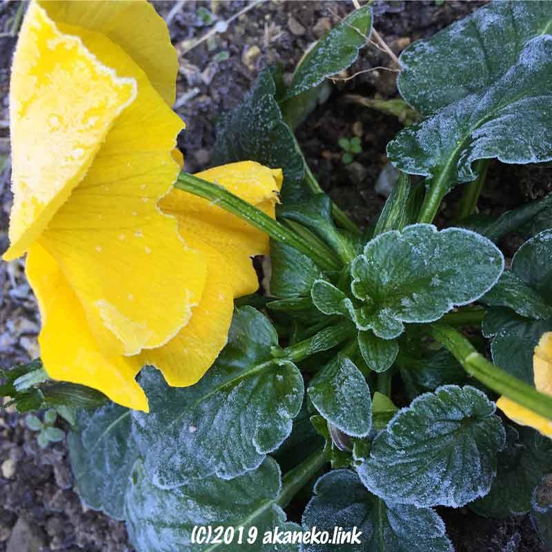 黄色いパンジーに降りた霜
