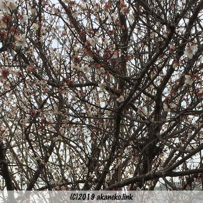 密生した枝に咲いた白梅の花