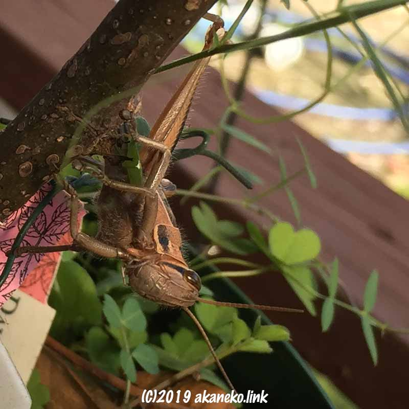 1月のバラの根元のツチイナゴ