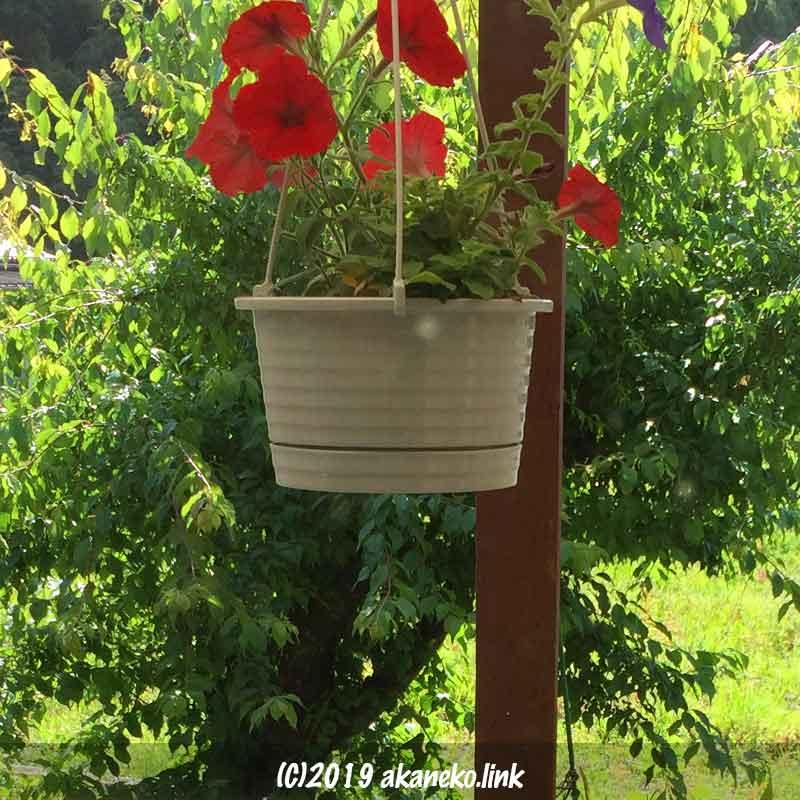 梅の木とペチュニアの鉢植え