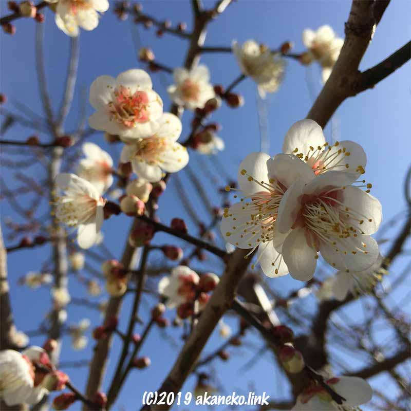 青空を背景にした三分咲きの白梅