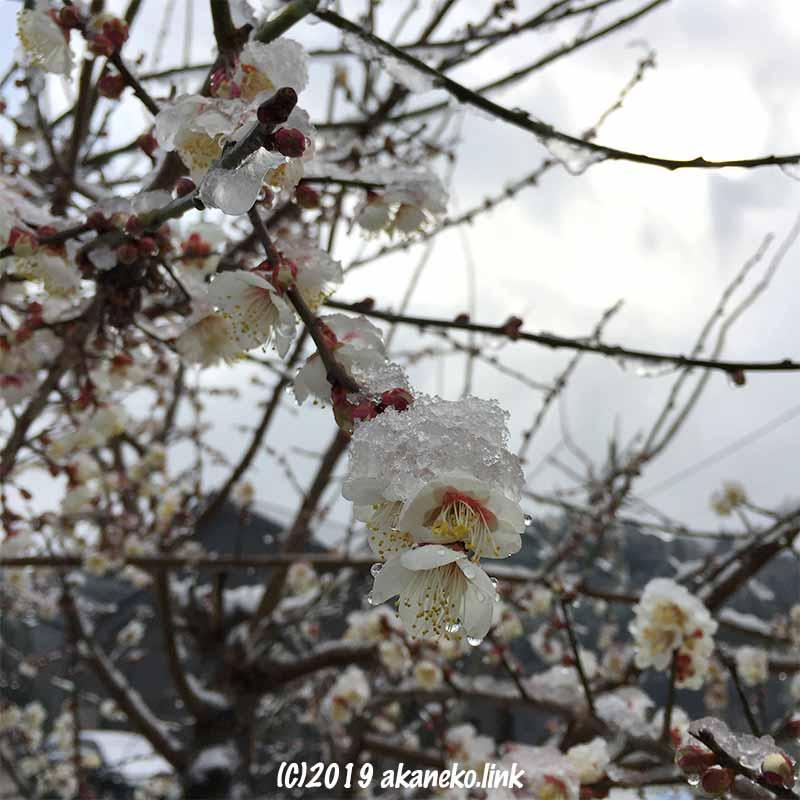 溶けかけた雪を乗せた白梅の花